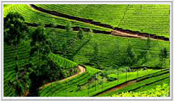 Ooty car rental for local sight seeing