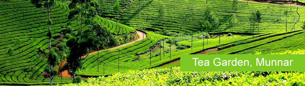 Ooty Taxi To Munnar Tea Garden, Kerala