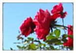 Ooty Car Rental For Rose Garden